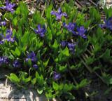 Iris, dwarf ( Iris lacustris)