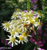 Aster, flat-topped (Aster umbellatus) with Polistes fuscatus