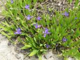 Iris, dwarf lake ( Iris lacustris)