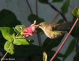 Hummingbirds of the FWG