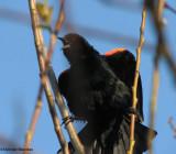 Blackbirds of the FWG