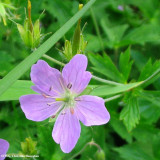 Geranium, Cranesbill   (Geranium sp.)