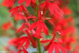 Cardinal flower  (Lobelia cardinalis)