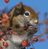 Red squirrel eating crabapples