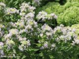 Mountain mint (Pycnanthemum sp.)