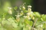 Meadow-rue, Early  (Thalictrum dioicum)