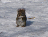 Red squirrel with piece of ice