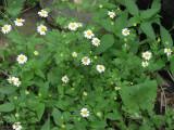 Feverfew (Chrysanthemum parthenium)