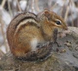 Chipmunk in the snow
