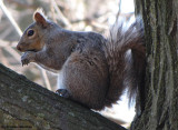 Grey squirrel in the Ash woods