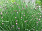 Ornamental chives (Allium sp.)