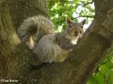 Grey squirrel, very pregnant