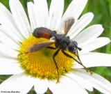 Tachinid fly  (Cylindromyia sp.)