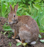 Eastern Cottontail Rabbits (Sylvilagus floridanus) at the FWG