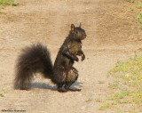 Grey Squirrel (black phase)