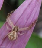 Crab Spiders (Thomisidae)