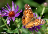 Brushfoot Butterflies (Nymphalidae: Subfamily: Nymphalinae)