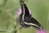 Butterflies  (Lepidoptera) of the FWG