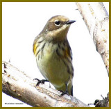 Warblers of the FWG