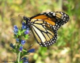 Monarch nectaring on viper's bugloss (Echium vulgare)