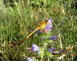 Autumn Meadowhawk (Sympetrum vicinum)