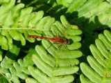 White-faced Meadowhawk (Sympetrum obstrusum)