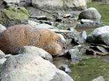 Groundhog getting a drink