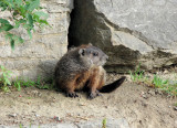 Groundhog outside his den