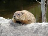 Groundhog smiling
