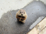 Groundhog begging for food