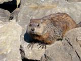 Groundhog displaying his claws