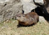 Groundhog among the rocks