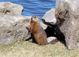 Groundhog striking a different pose