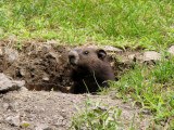 Groundhog peering out of his hole