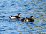 Long-tailed Ducks (females)