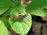Robber Fly (Laphria sericea)