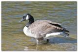 Canada Goose I