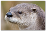 Otter Close-Up