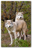 Two Wolves I