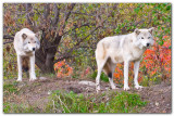 Two Wolves II