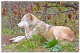 Wolf VII