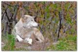 Wolf VIII