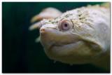 Albino Snapping Turtle