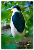 Black Crowned Night Heron I