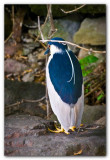 Black Crowned Night Heron II