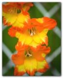 Gladiolus II