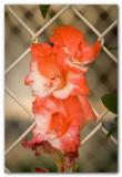 Gladiolus (past it's prime)