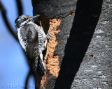 3-toed woodpecker female Bethel Ridge