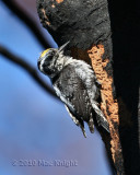 3-toed woodpecker male Bethel Ridge