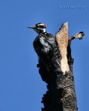 hairy woodpecker male Bethel Ridge